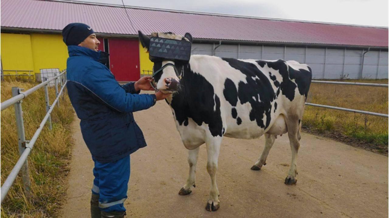 Vacas, VR